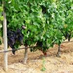 Rega de gota-a-gota em 160 ha de vinha (Vendas Novas)